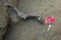 Őstülök szarv egy neolit gödör alján - 2. számú lelőhely