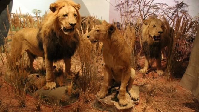 Lions01